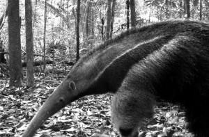 giant-anteater-670