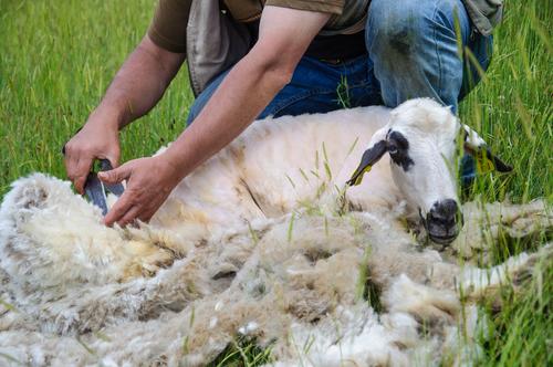 mouton-tondu-2